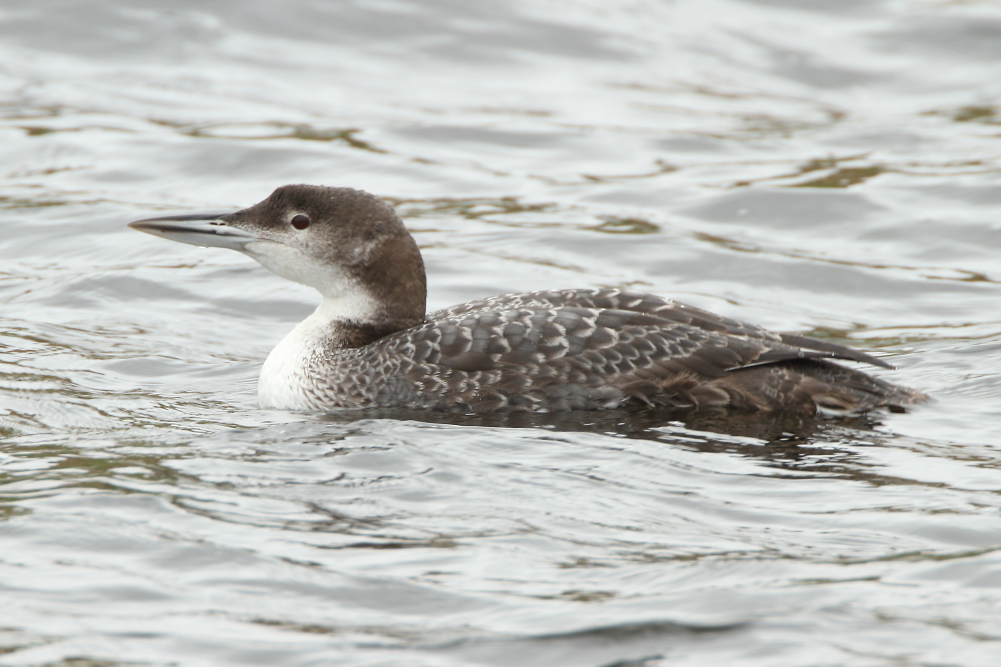 Great Northern Diver - Castleshaw Reservoirs, Oldham, March 2016